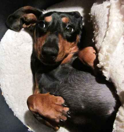Miniature dachshund doing cute!
