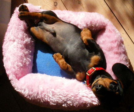 dachshund puppy in the sun