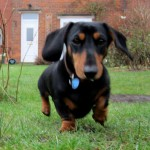 Higgins the miniature dachshundt