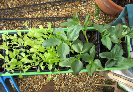 a seed tray of broad beans and lettuce seedlings
