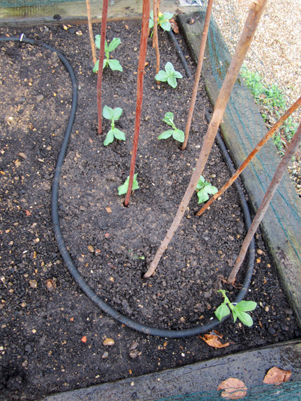 broad beans seedlings planted in a raised bed
