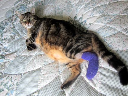 Tabby cat on a patchwork quilt with a purple bandage