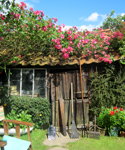 Old garden shed with climbing rose