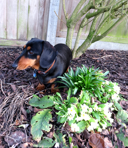 Min Dachshund and primroses