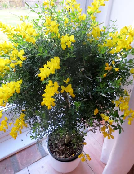 lollipop broom bush for Spring