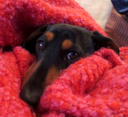 miniature dachshund keeping warm