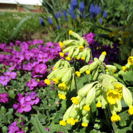 cowslips & aubretia in sunshine