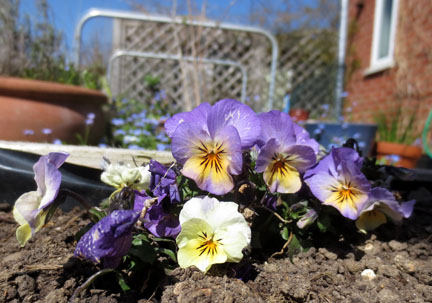pansy in the sunshine