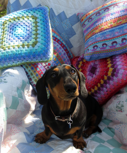 Miniature dachshund in garden chair