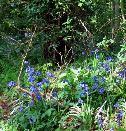 Bluebells - Beautiful Blues