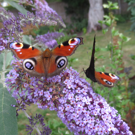 peacock butterflies on buddleia
