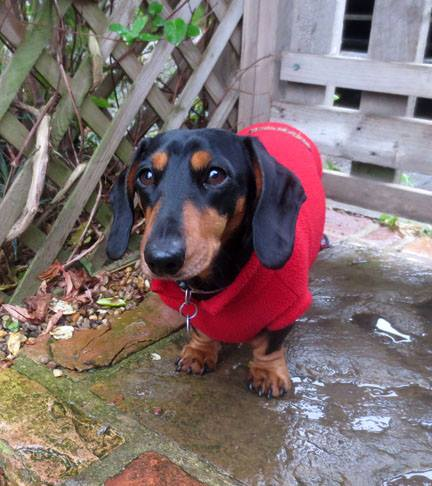 mini dachshund in red coat