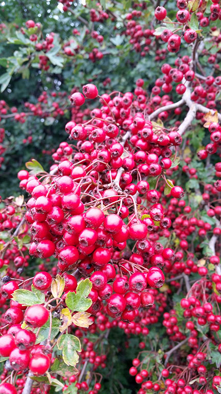 hawthorn berries - Norfolk UK - September