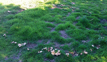Fairy ring - September - Norfolk, UK